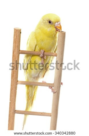 common pet parakeet in front of white background - stock photo