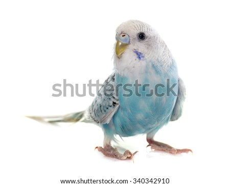 common pet parakeet in front of white background