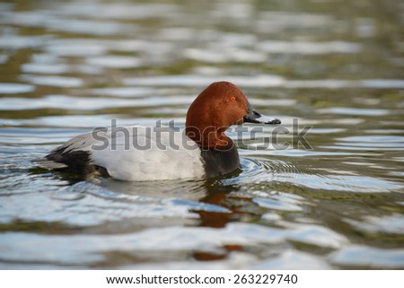 Common Pochard, Pochard, Aythya ferina