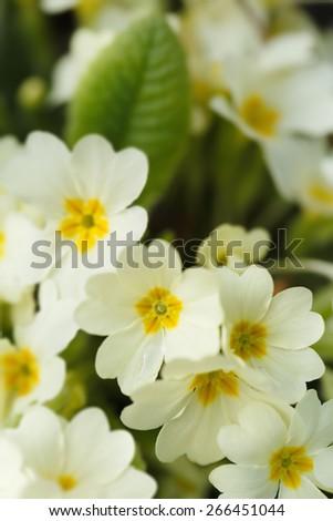 Common primroses (Primula vulgaris) in bloom - stock photo
