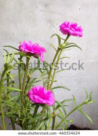 Common Purslane - stock photo