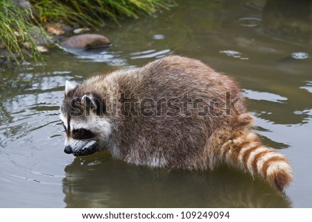 Common raccoon or Procyon lotor searching for food in water - stock photo