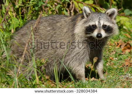 Common Raccoon standing at the edge of the trees looking for potential threats.