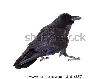 Common Raven (Corvus corax), 28 years old, isolated on white