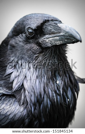 Common Raven, Jasper National Park Alberta Canada - stock photo