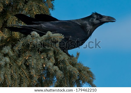 Common Raven perched in a pine tree. - stock photo