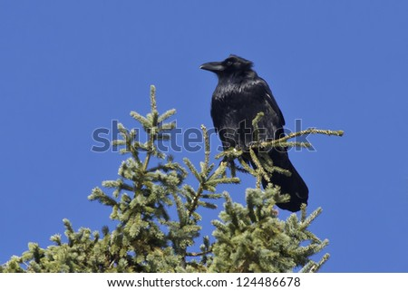 Common Raven perched on the top of a tree. - stock photo