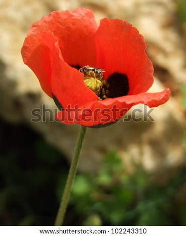 "Common Red Poppy ""Corn Poppy"" - stock photo"