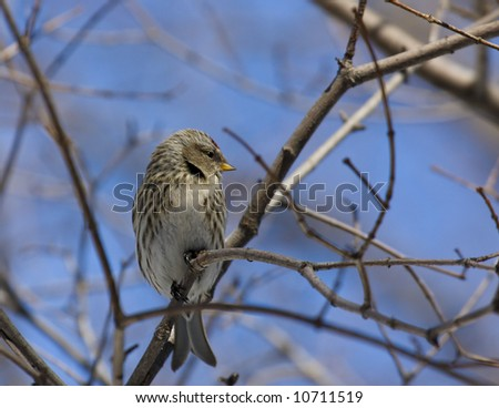 Common redpoll - stock photo