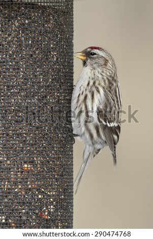 Common Redpoll (Acanthis flammea) feeding at a nyjer seed feeder- Grand Bend, Ontario, Canada - stock photo