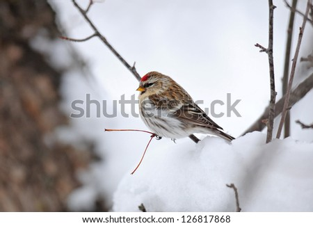 Common redpoll in snowy tree, species carduelis flammea - stock photo