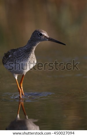 Common Redshank on water