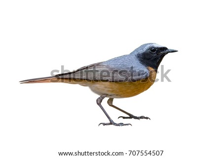 Common redstart (Phoenicurus phoenicurus), with White background, isolated