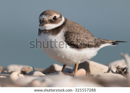 Common ringed plover - stock photo