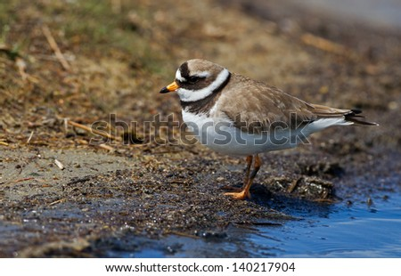 Common Ringed Plover Charadrius hiaticula on shore - stock photo