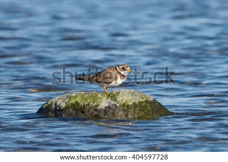 Common ringed plover (Charadrius hiaticula) resting on a rock surrounded by water - stock photo