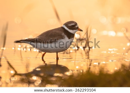 common ringed plover or ringed plover (Charadrius hiaticula) in shallow water in the first orange light during sunrise - stock photo