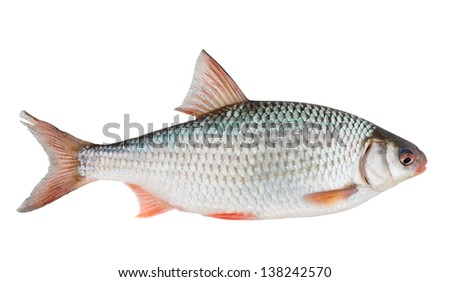 Common roach (rutilus rutilus) isolated on white with clipping path - stock photo