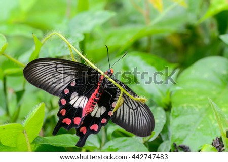 common rose  butterfly in nature