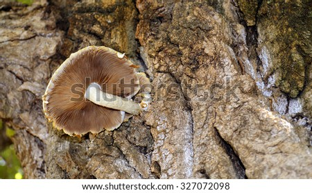 Common rustgill or freckled flame cap fungus Latin name Gymnopilus penetrans showing the rust coloured gills growing on a rotting tree - stock photo