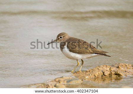 Common Sandpiper (Actitis hypoleucos) standing on a muddy shoreline against a blurred water background, Spain - stock photo
