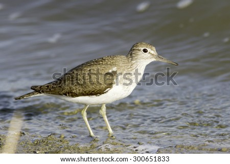 Common sandpiper in natural habitat / Actitis hypoleucos