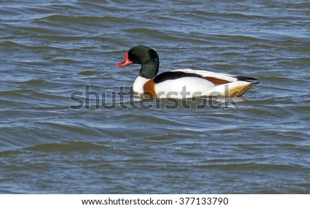 Common Shelduck, Tadorna tadorna - stock photo
