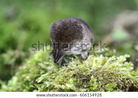 Shrew Stock Images, Royalty-Free Images & Vectors ...