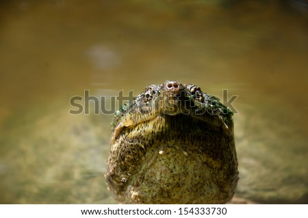 Common snapping turtle peeking out of pond water looking for a meal - stock photo