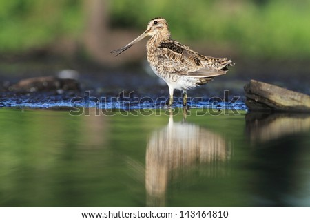 Common Snipe Gallinago gallinago - stock photo