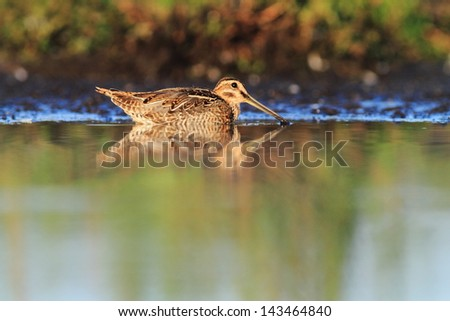 Common Snipe Gallinago gallinago bath - stock photo