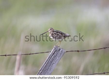 Common Snipe on Post Saskatchewan Canada - stock photo