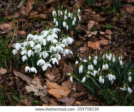 Common snowdrops (Galanthus nivalis) growing through golden leaves  - stock photo
