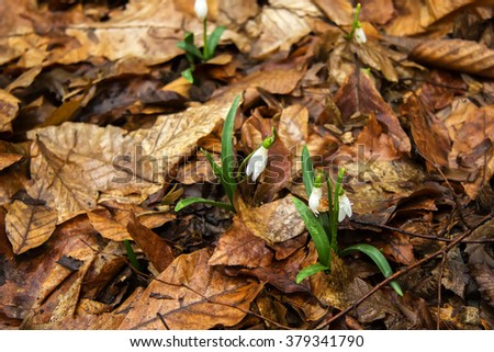 Common snowdrops (Galanthus nivalis) growing through golden leaves. first spring flowers, snowdrops in garden, sunlight   - stock photo