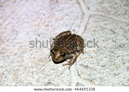 Common spadefoot (Pelobates vespertinus Pallas, 1771) on the paving tile in the night summer garden
