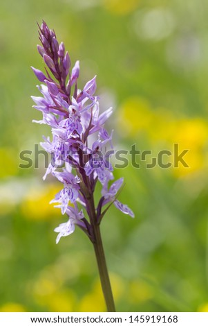 Common Spotted Orchid ( Dactylorhiza fuchsii ) flower - stock photo