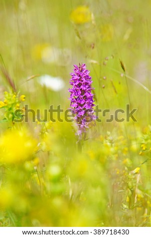 Common Spotted Orchid, Dactylorhiza fuchsil, with selective focus and diffused background, this orchid grows on grassland, calcareous or neutral soils, The Cotswolds, Gloucestershire, U K - stock photo