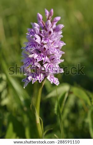 Common Spotted Orchid - Dactylorhiza fushsii - stock photo