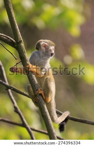 Common squirrel monkey in the forrest - stock photo