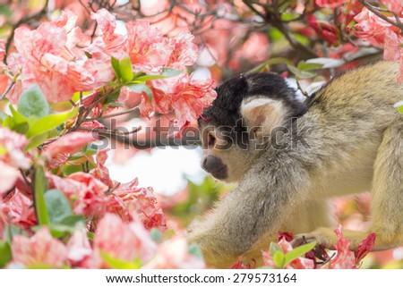 squirrel monkey essay