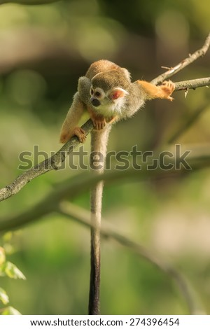 Common squirrel monkey on the branch - stock photo