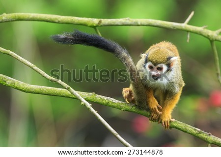 Common squirrel monkey on the tree - stock photo
