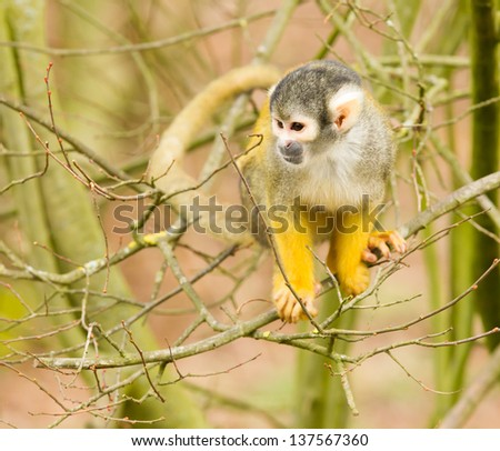 common squirrel monkey sitting in a tree - stock photo