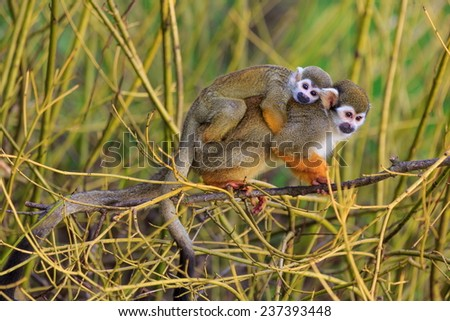 Common squirrel monkey with cube - stock photo
