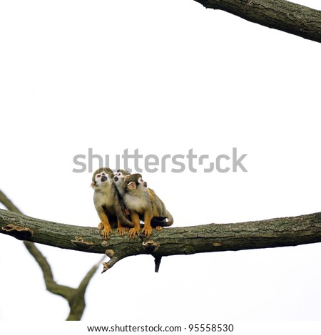 Common Squirrel Monkeys sitting on a branch - stock photo