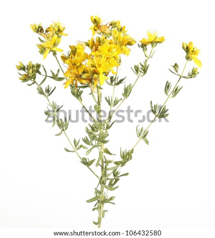 Common St John's Wort wild plant Hypericum perforatum - stock photo
