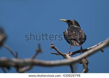 Common starling or Sturnus vulgaris sits on twig - stock photo