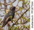 Common Starling, Sturnus vulgaris - stock photo