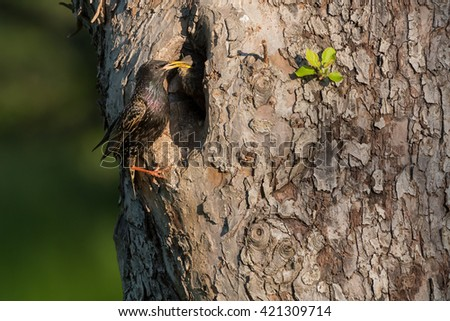 Common starling (Sturnus vulgaris) next to nest hole in an old fruit tree with chick looking out of the nest