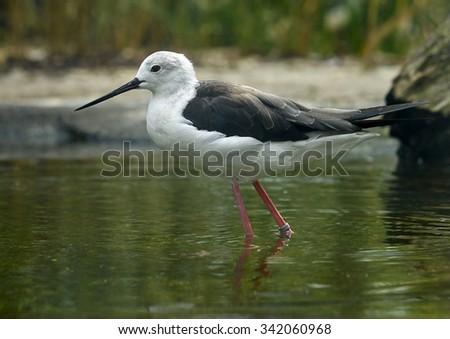 common stilt  (Himantopus himantopus) - stock photo